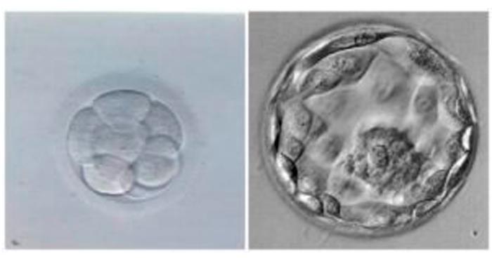 Embriones Clínica Tambre