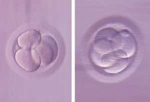 Incubación de los embriones