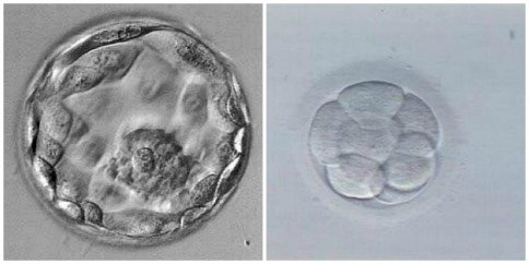 Esos-impredecibles-embriones